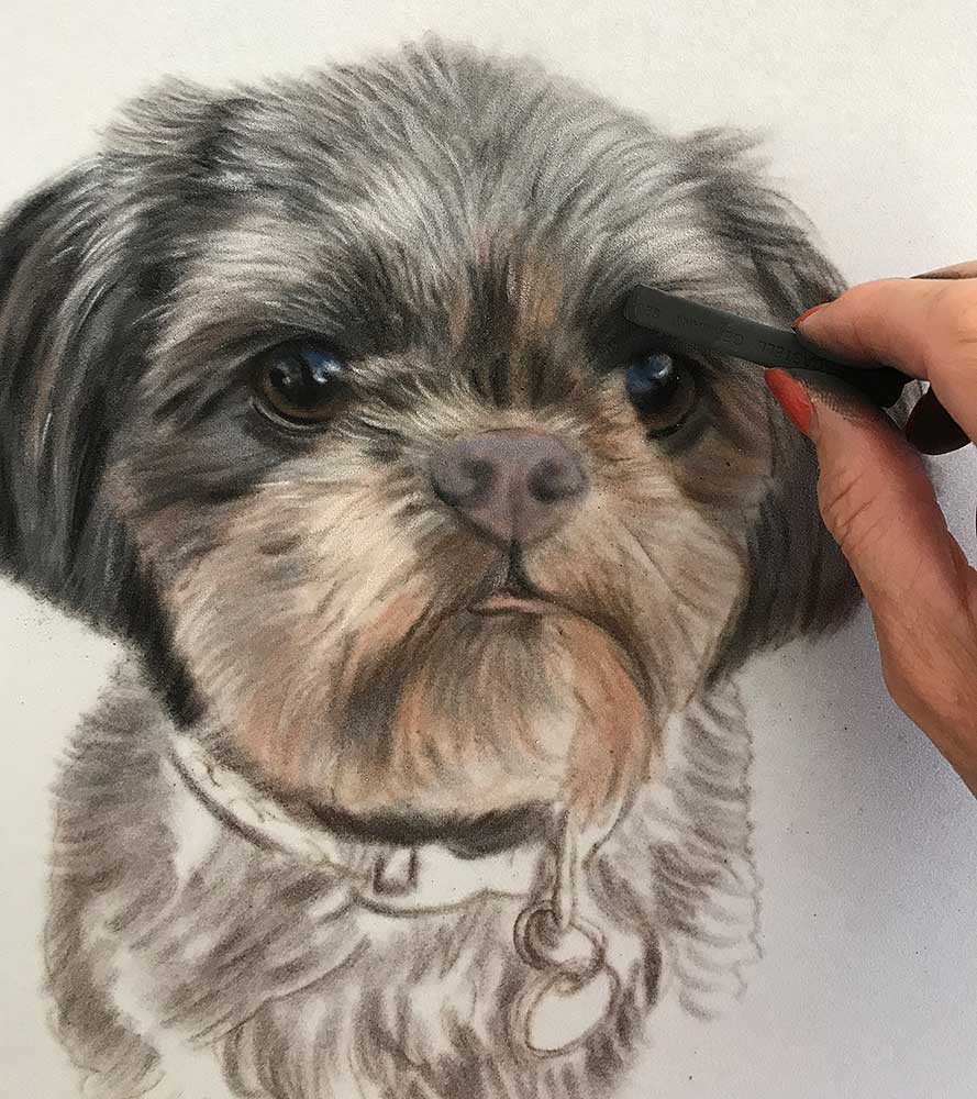 Shih Tzu Portrait - Work in Progress