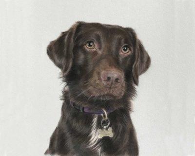 Springador dog portrait