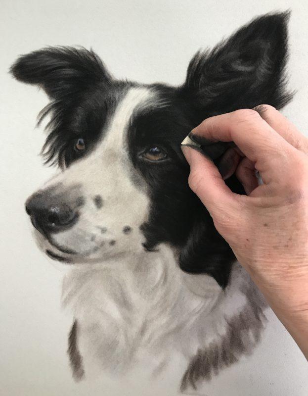 Border Collie portrait - Work in progress