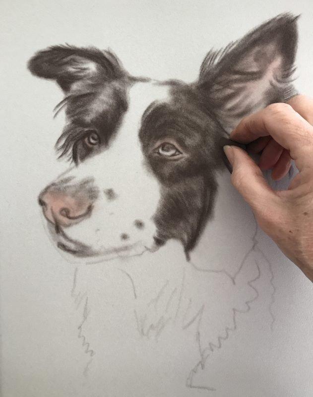 Border Collie portrait - Rough sketch