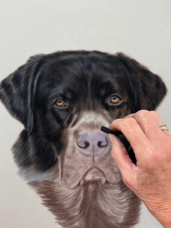 Black Labrador Portrait in pastels work in progress